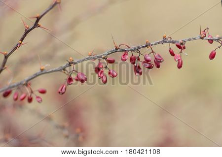 Barberry branch with many dried berries left from autumnal yield in early spring garden (shallow dof)