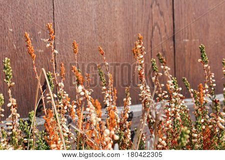 Erica Carnea With Brown Wood Background, Close Up Photo