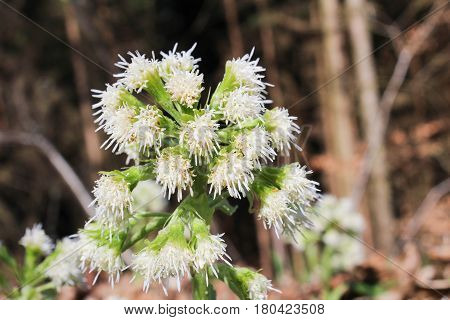 Allium ursinum with blured brown forest background