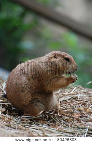 Prairie dog with it's paws clutched in prayer.