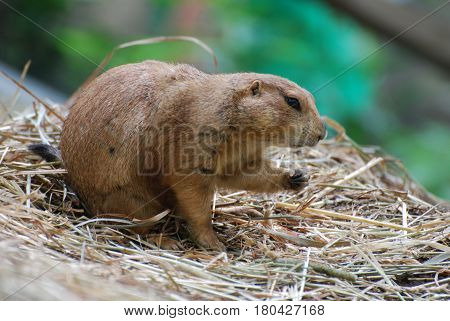 Cute prairie dog snacking on crumbs while he is sitting on hay.