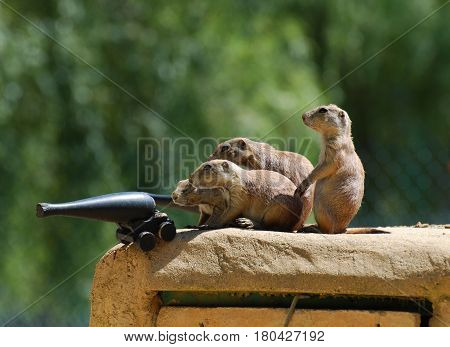 Group of prairie dogs prepared to do battle.