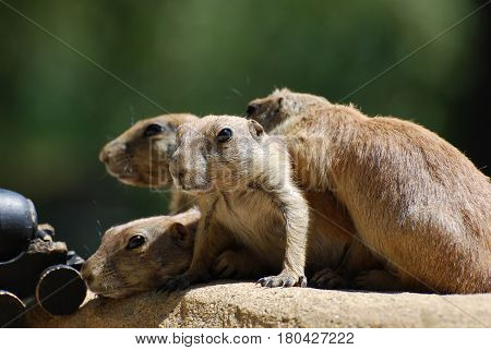 Adorable group of black tailed prairie dogs all piled on top of each other.
