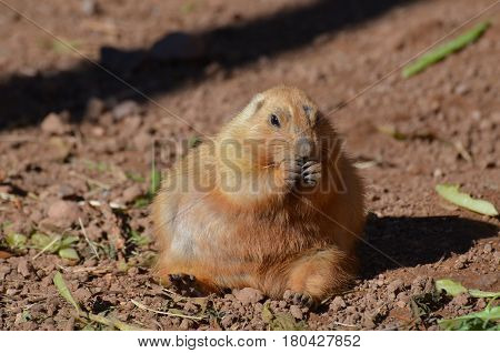 Chubby black tailed prairie dog snacking on some food.