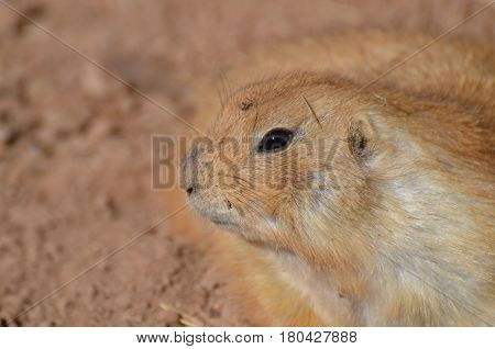Really cute prairie dog up close and personal.