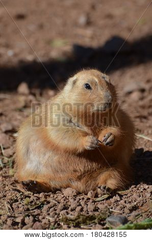 Very chubby prairie dog sitting in a pile of dirt.