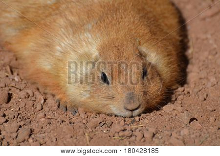 Adorable chubby prairie dog resting in a pile of dirt.