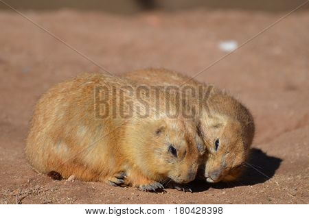 Cute pair of snuggling prairie dogs cuddling together.