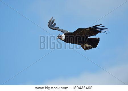 Andean Condor (Vultur gryphus) flying