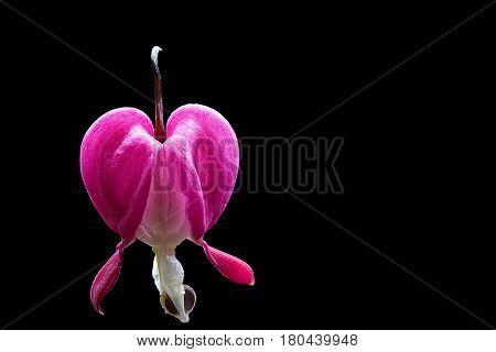 Bleeding heart flower on a black background