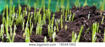 Lawn grass sprouting. fresh oat sprouts with water drops, close up. Young sprouts of wheat closeup