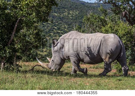 An adult white rhino bull in the Marakele national park south africa