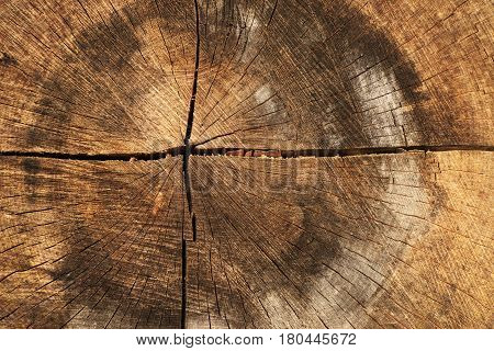 Large tree trunk in a forest in the Alps