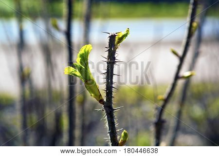 Photo depicting a macro view of new bright green fresh spring leave buds on the tree brunch. De focused blurred sky and forest tree branches with buds on the background.