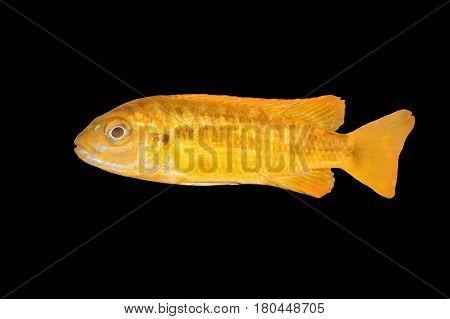 Cichlid Fish (melanochromis Sp.) On A Black Background