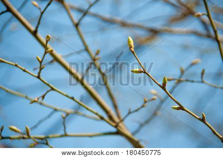 Young buds on a tree against a blue sky