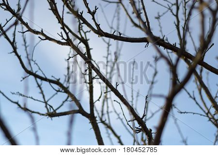 Branch of a tree with buds against the blue sky.  Spring sunny evening. The March day. Early spring. The beginning of spring. Spring background.