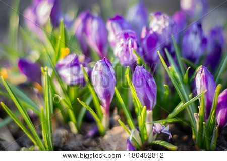 The group of purple Crocuses (Crocus sativus) flowering in the early spring in the wild nature. The first spring flowers - purple flowers crocus crocuses. Closeup of violet flowers in nature with soft focus. Flower landscape spring mood springtime.