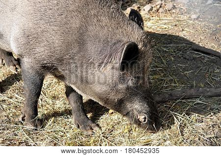 detailed view of a wild boar in nature