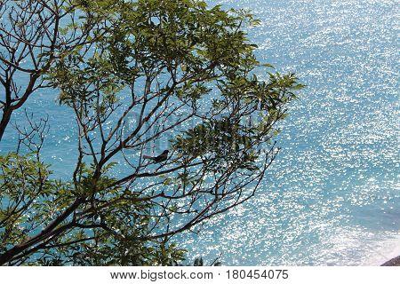 Blackbird in a beachside tree in Nice, France