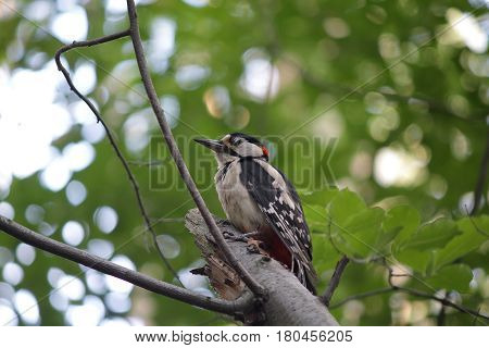 Great woodpecker is sitting on a tree bole. Birds