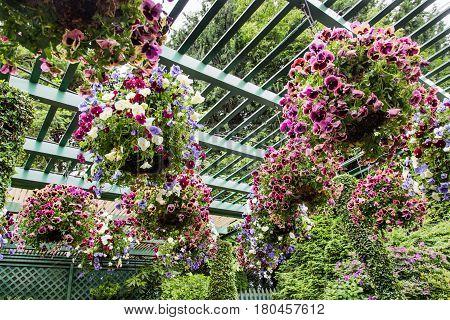 Pansies in Hanging Baskets in a Garden