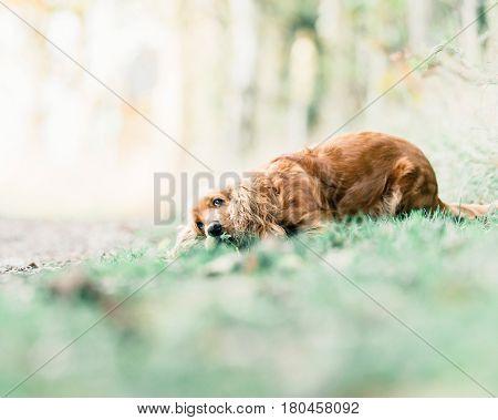Ginger Cocker Spaniel Lying Down In Grass.