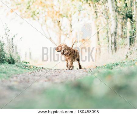 Cocker spaniel walking on a rural path.
