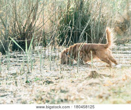 Cocker spaniel searching in a marshy field.