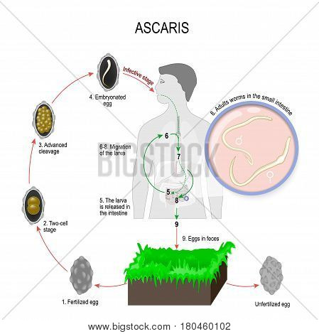 Ascaris lumbricoides life cycle. Silhouette of a man with internal organs. The arrows indicate the direction of worm migration in the human body and environment. Eggs larva and adult specimens of ascarids