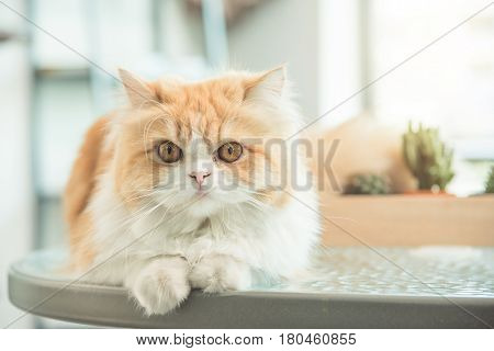 Cute persia cat sitting on the table