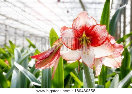 Amaryllis flowering plant cultivation in a greenhouse.