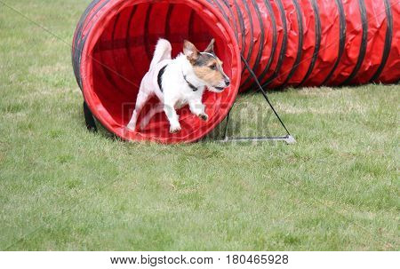 A Small Fit Dog Running From an Agility Course Tunnel.