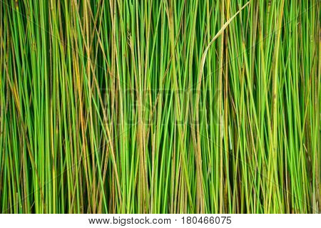 Abstract background of green papyrus pattern and texture