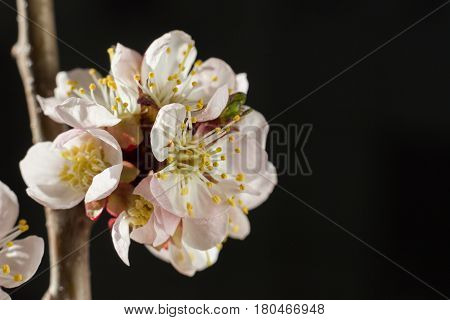 Bright cherry blossom flowers closeup on dark background