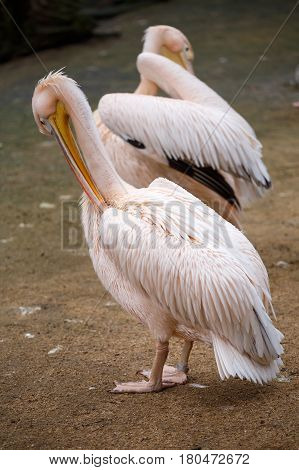 White pelican (Pelecanus onocrotalus). Pelicans clean their feathers.