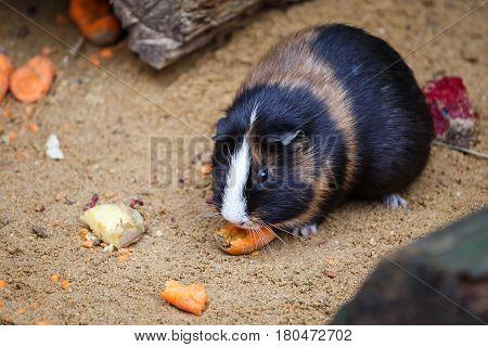 Guinea pig eats carrot (Cavia aperea f. porcellus)