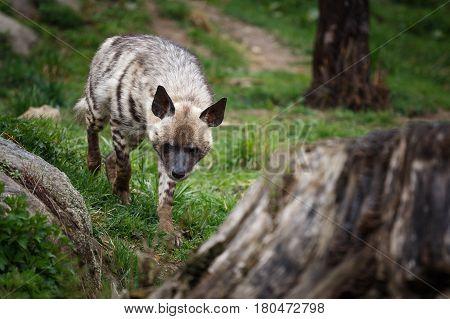 Striped hyena (Hyaena hyaena sultana). Hyena running.