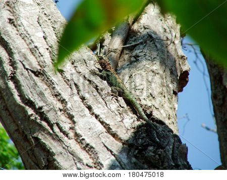 Iguana na Árvore - Fauna Brasileira - Amazônia