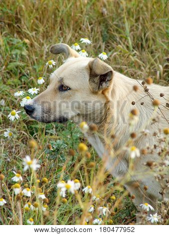 Stray dog in a field on a background of flowers and green grass