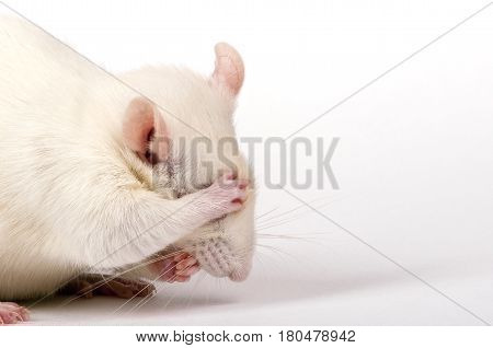 albino lab rat closes its eyes with paw like being ashamed, white isolated closeup