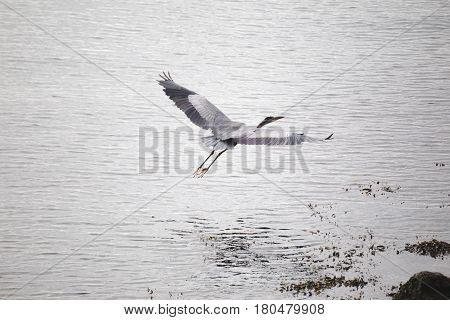 Large heron bird flying with wings spread over ocean water.