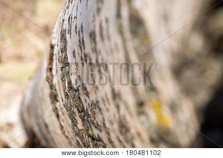 Background From Poplar Bark. Texture Of Bark Of Tree.