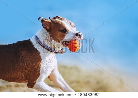 A beautiful white-brown male dog breed American Staffordshire terrier runs and jumps against the background of the water. Portrait of a puppy with a ball in his teeth. A dog is playing with a toy