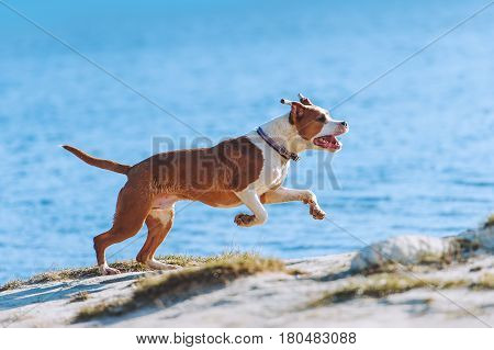 A beautiful white-brown male dog breed American Staffordshire terrier runs and jumps against the background of the water. A young puppy gallops along the beach in bright sunlight