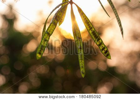 Colorful fresh floral blurred green acacia seedpod bokeh background poster