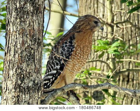 Cooper's Hawk on a tree in forest of Mclean USA March 18 2017