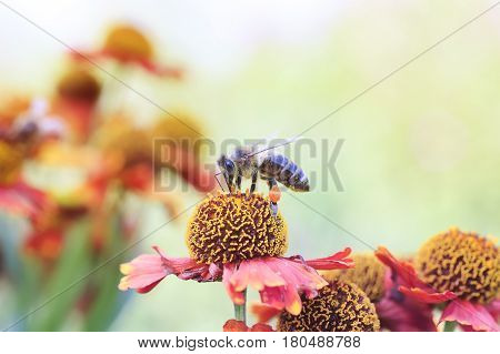 little honey bee collects nectar on a flower in summer