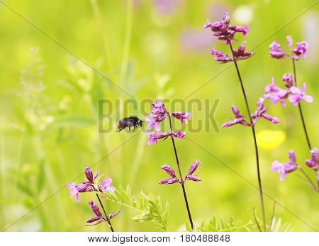 shaggy bumblebee gathers nectar from beautiful flowers on a summer meadow