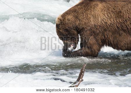 Alaskan Brown Bear With Salmon